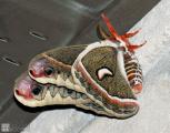 cecropia-moth_16029743987_o