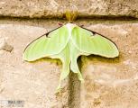 luna-moth_16028200030_o