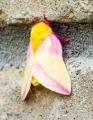 rosy-maple-moth_15593164394_o