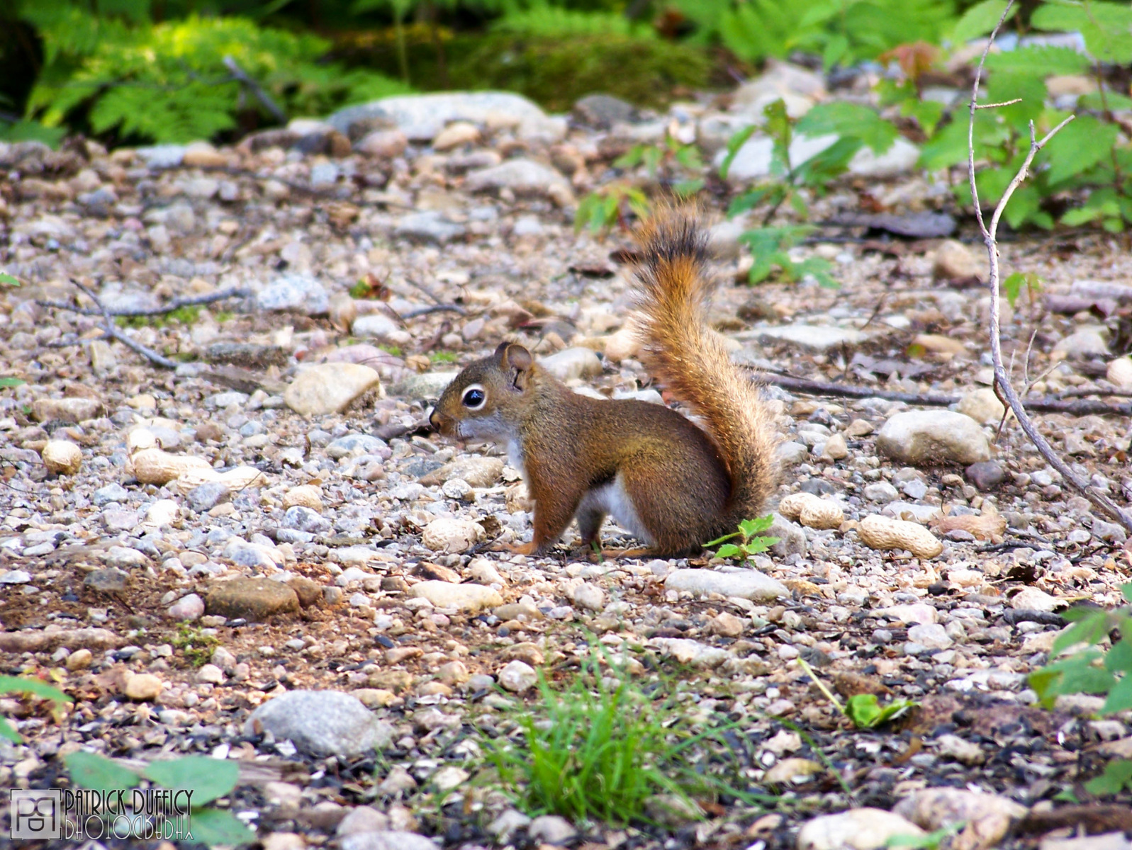 american-red-squirrel_16214770262_o