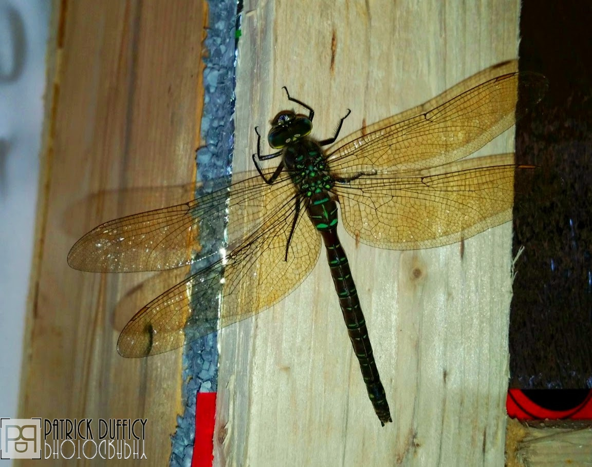 some-kind-of-hawker-dragonfly_16207121401_o