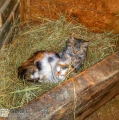 braveheart-ranch-cats_16208213912_o