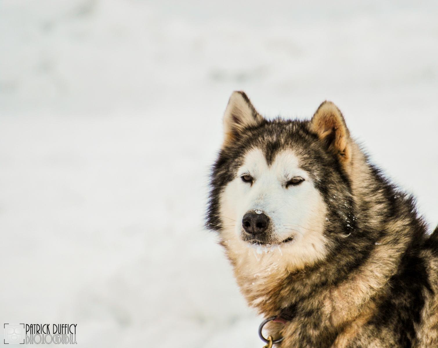 sled-dog_16487654385_o