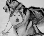 sled-dogs_15867519993_o