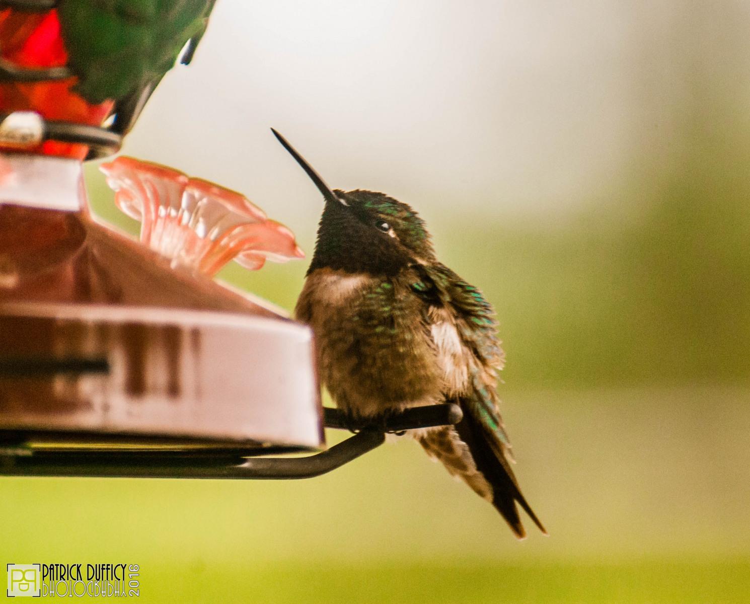 baby-colibri-bb_27773370813_o